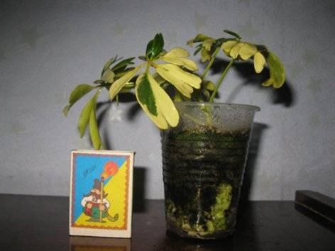 Шеффлера: размножение стеблевыми черенками