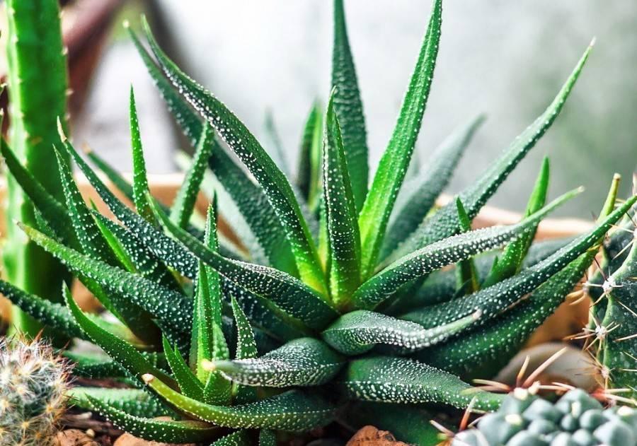 Хавортия (73 фото): особенности цветения и ухода за цветком в домашних условиях. как пустынное растение пережидает засуху? какой нужен грунт для хавортии? ядовитая она или нет?