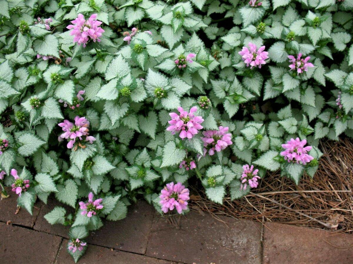 Яснотка: виды и сорта, выращивание в саду