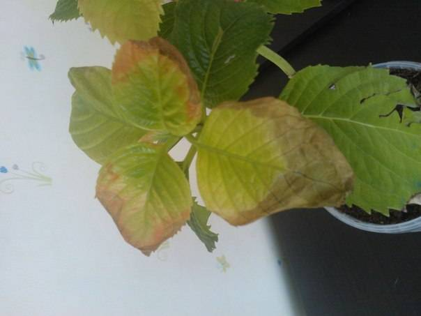 Гортензия. что делать, когда желтеют, сохнут опадают листья?