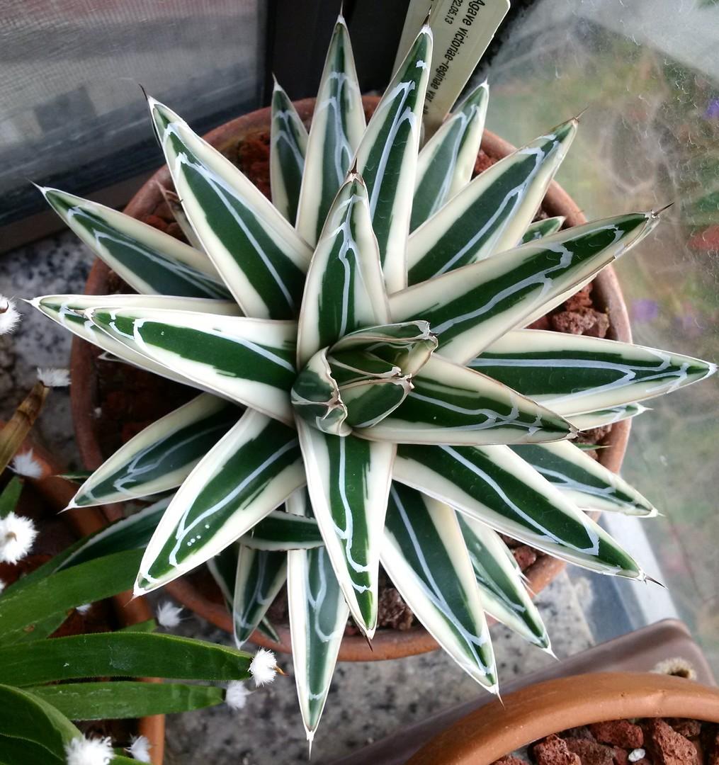 Агава — домашнее растение, которое прекрасно растет в домашних условиях