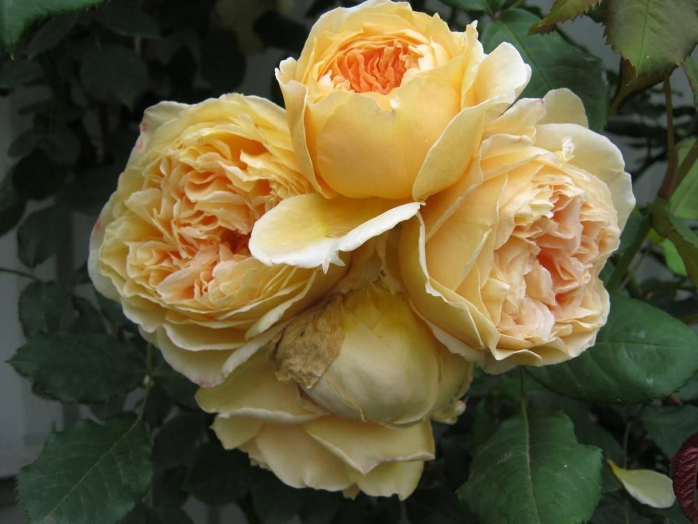 Роза принцесса маргарет (видео)