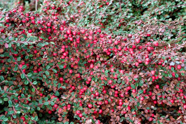 Кустарник кизил: посадка и уход в открытом грунте, фото, обрезка и размножение, свойства