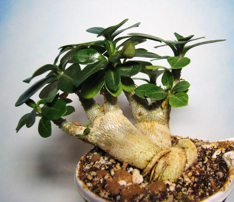 Цветок адениум: видео ухода, условия выращивания, пересадка в домашних условиях, фото и описание сортов