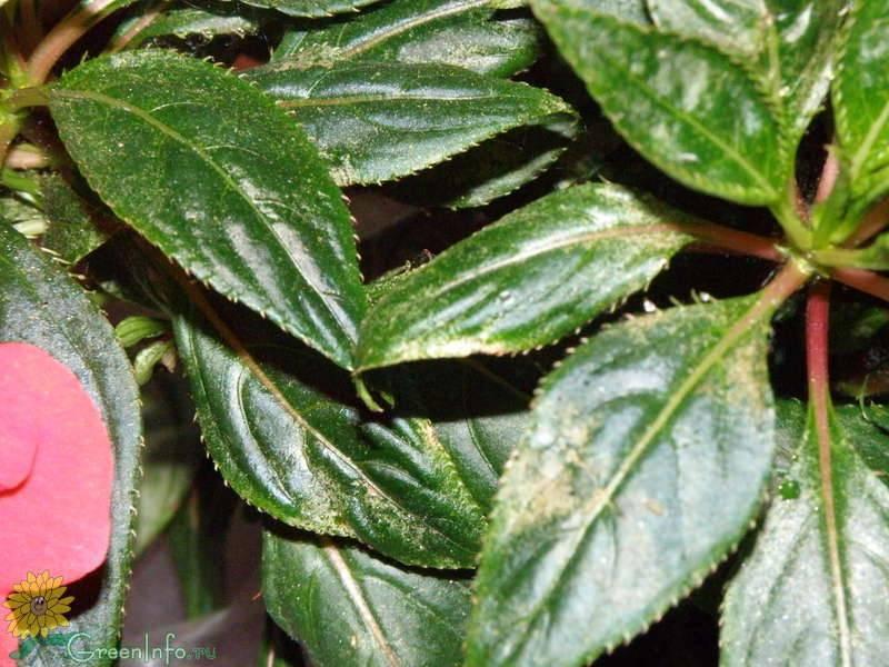 Почему у бальзамина сохнут кончики листьев