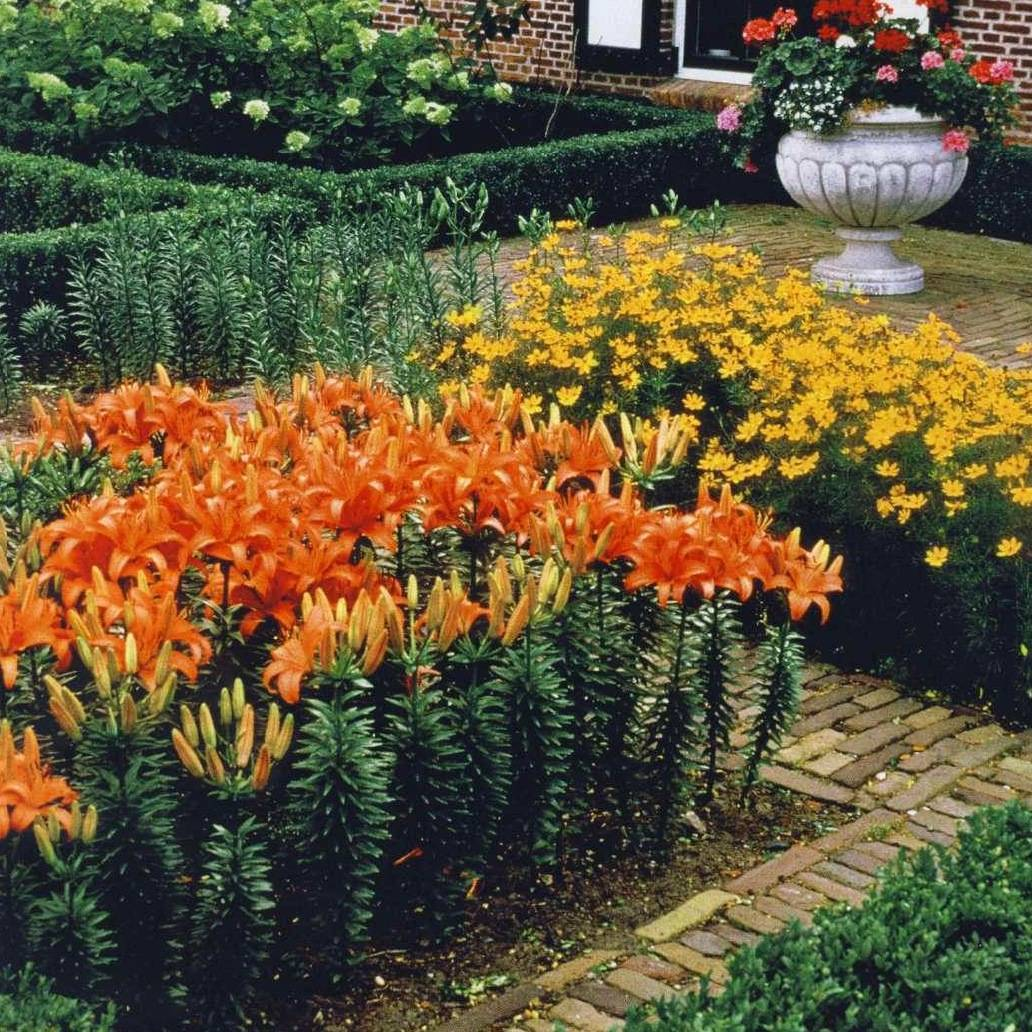 Прекрасный домашний цветок амариллис*