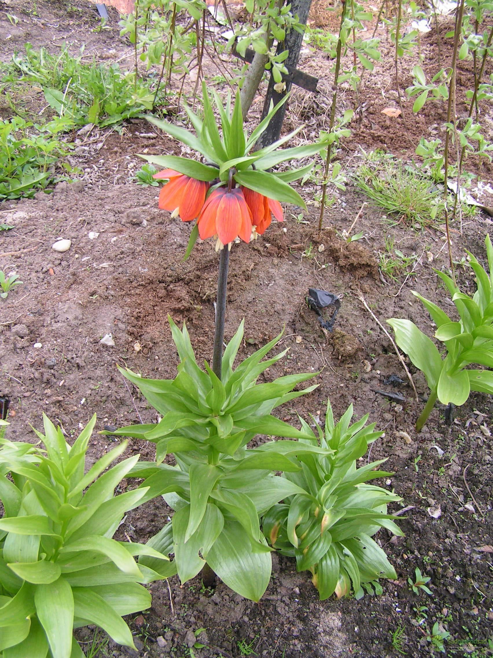 Цветок рябчик: осенняя посадка. как посадить рябчик осенью: подготовка места и почвы, выбор посадочного материала