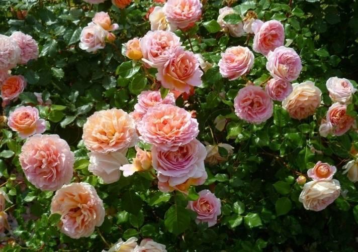 Выращивание английской сортовой розы херитейдж: как ухаживать за остинкой