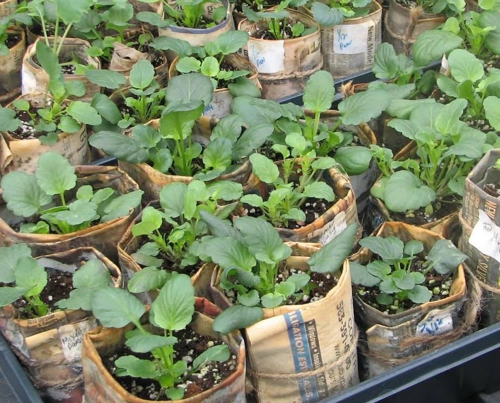 Как вырастить анютины глазки из семян: когда сажать, посадка и уход в открытом грунте, выращивание рассады