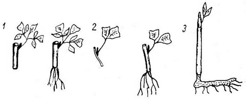 Размножение пионов (21 фото): как вырастить их из семян и рассадить весной? как размножаются делением куста?