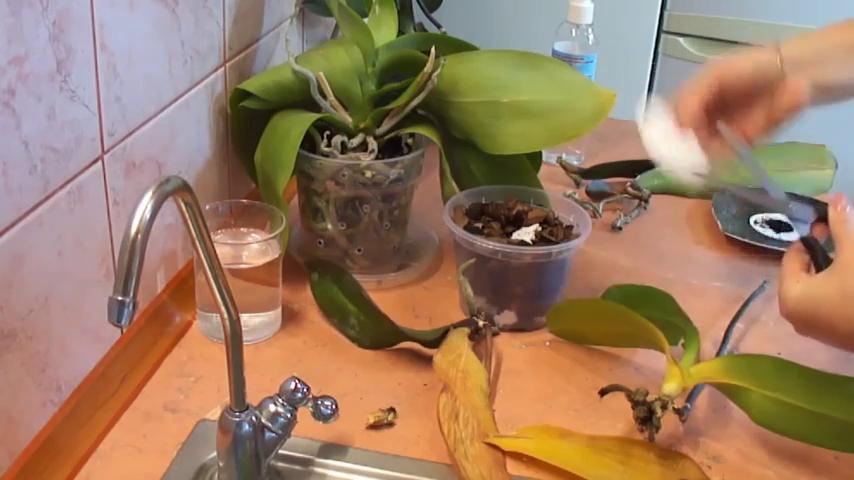 Как реанимировать орхидею в домашних условиях: способы лечения