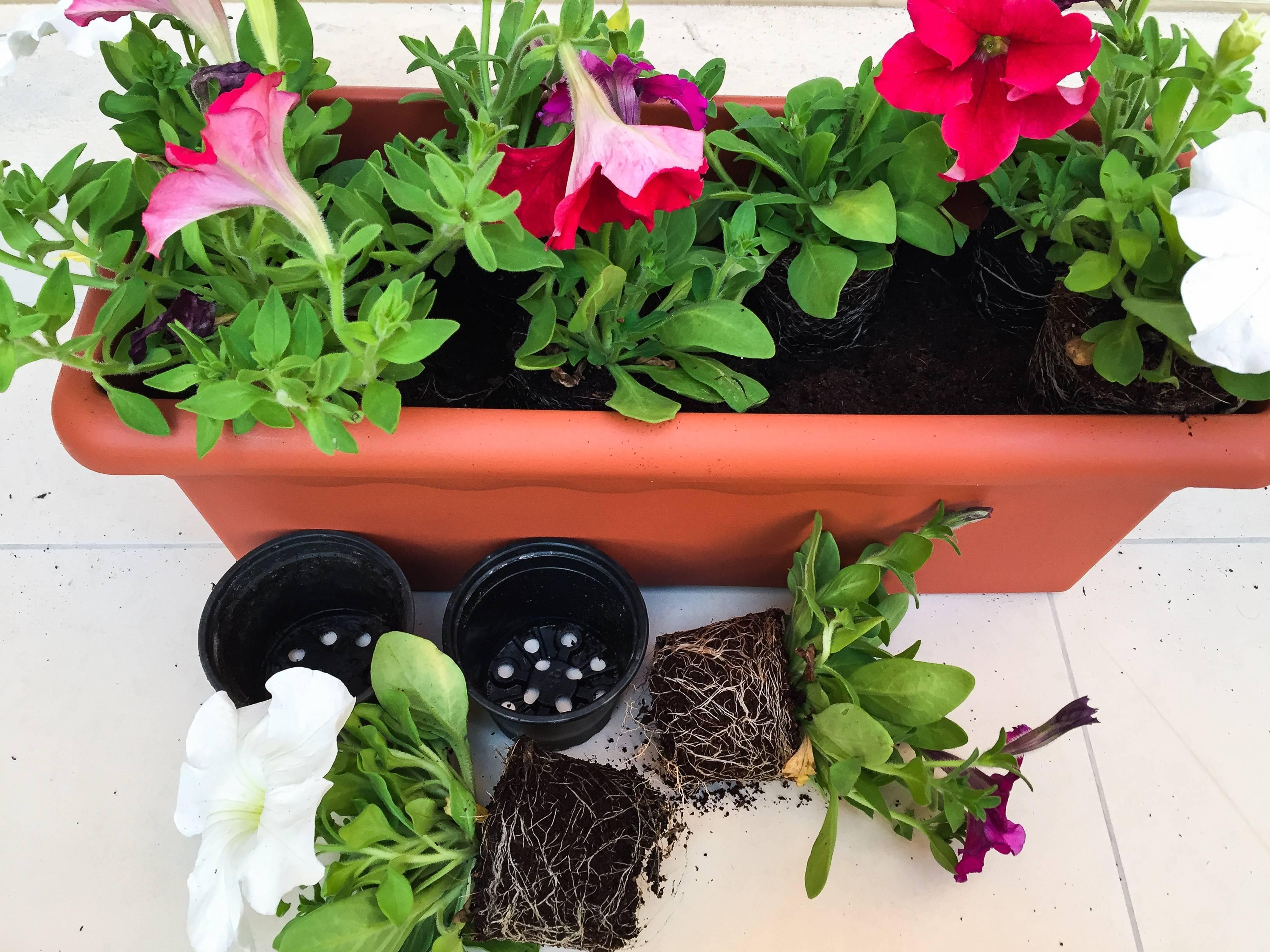 Как посадить петунию в кашпо на улице? основные правила ухода