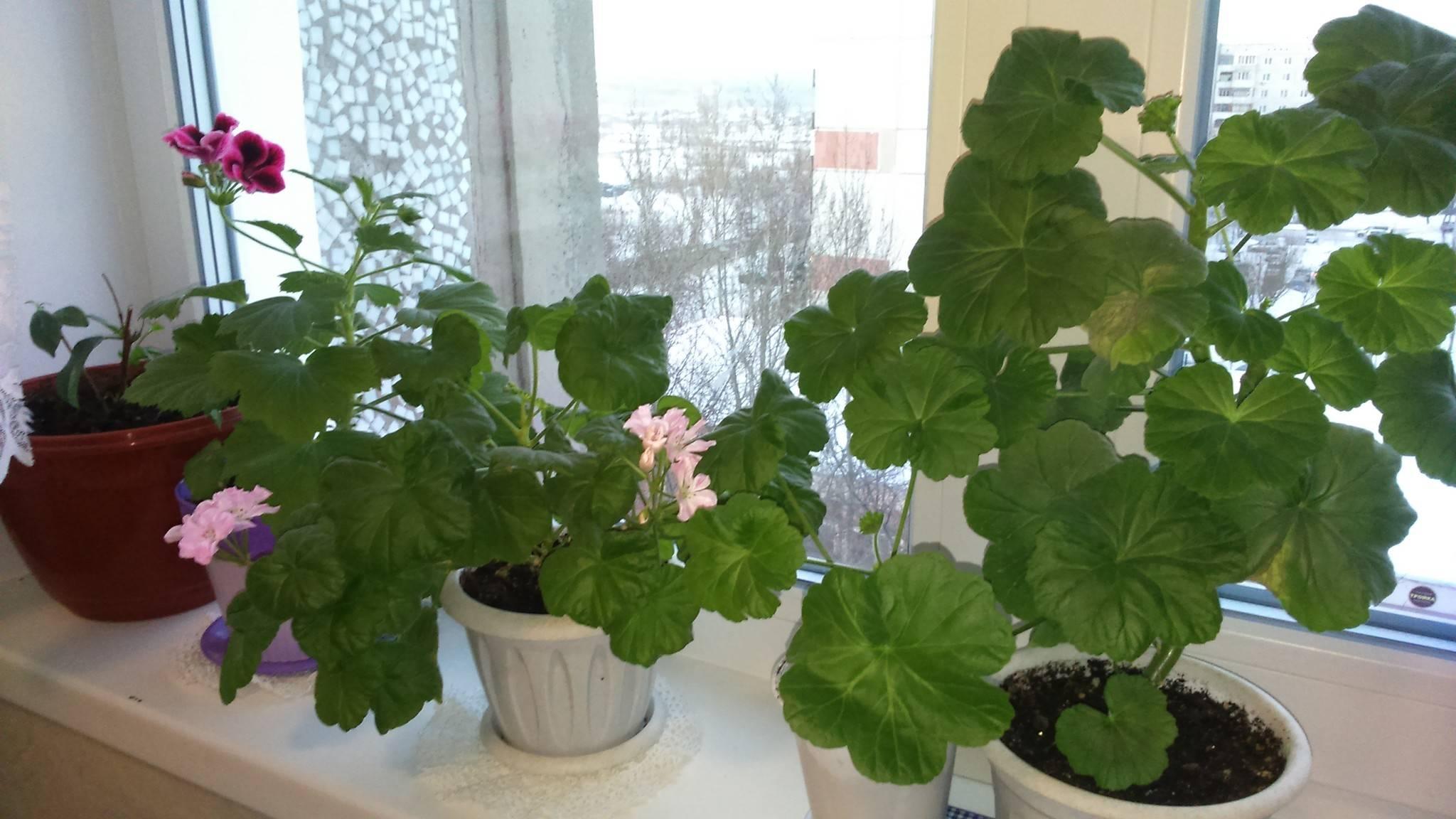 Размножение королевской пеларгонии в домашних условиях и уход после него: как производится посадка в грунт черенков и семян, как укоренить растение и другие нюансы