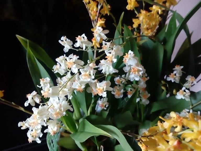 Орхидея онцидиум: уход в домашних условиях, размножение, пересадка, почему желтеет