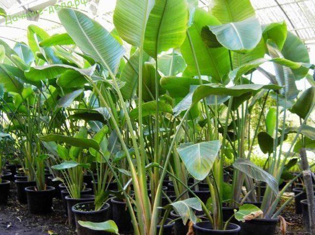 Стрелиция: выращивание в домашних условиях из семян и размножается ли вегетативным способом, а также как правильно выбрать горшок и подготовить грунт?