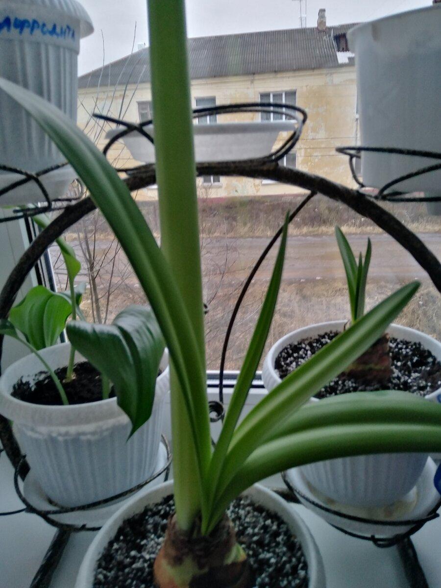 Гиппеаструм выращивание и уход в домашних условиях   | образцовая усадьба