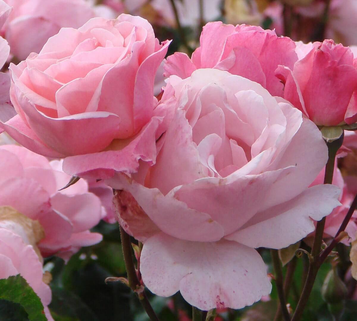 Особенности ухода за розой куин элизабет