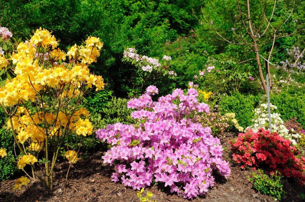 Азалия садовая: особенности ухода и посадки