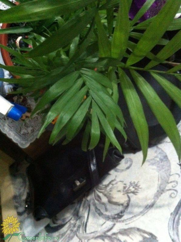Причины высыхания листьев у хамедореи