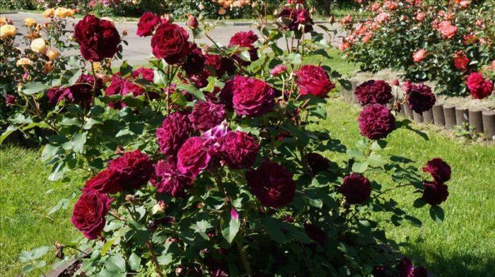Описание английской шраб-розы клэр остин: что за сорт, особенности цветения