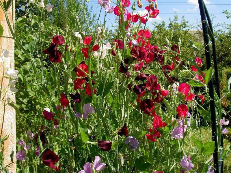 Душистый горошек многолетний — выращивание из семян
