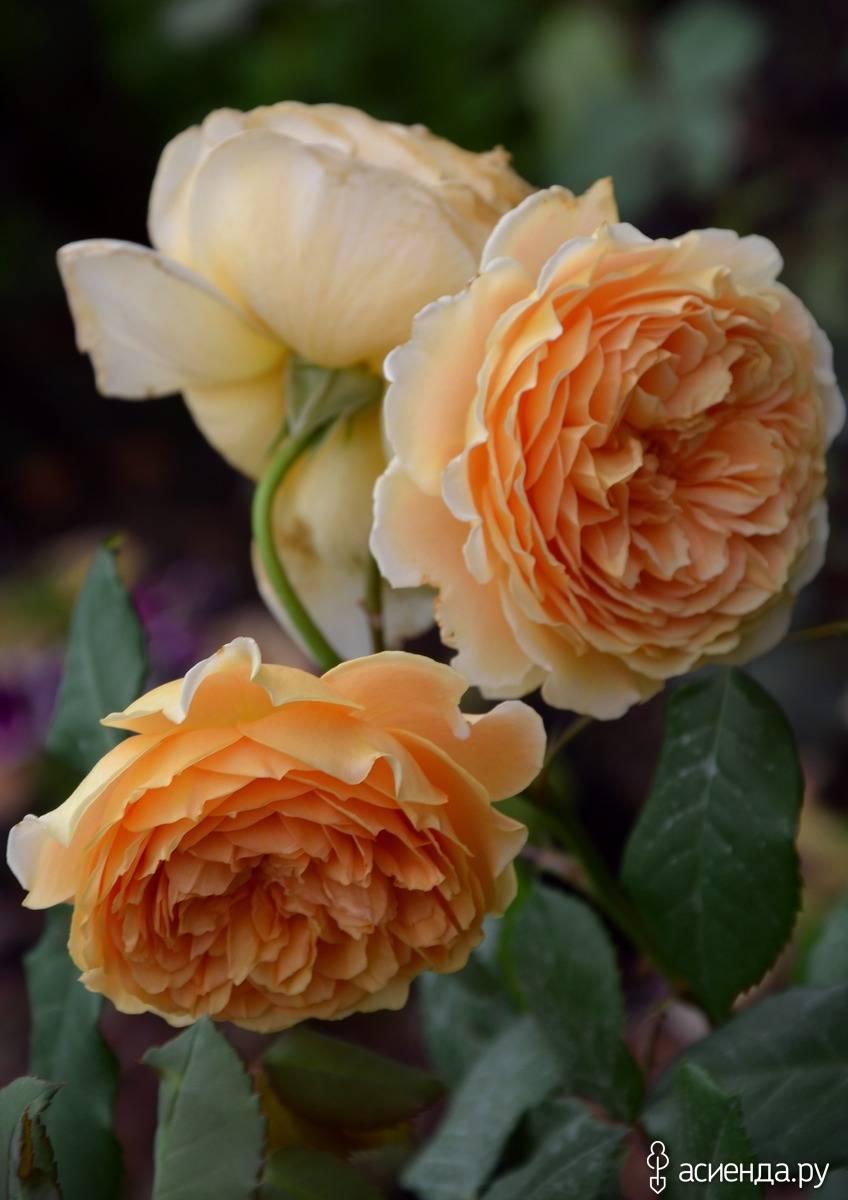 Английские розы: сорта, советы по выбору и уходу