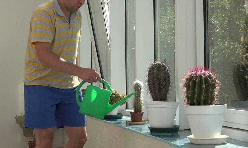 Как поливать кактус: как часто его поливать зимой и летом в домашних условиях. сколько раз в месяц нужно поливать маленький кактус?