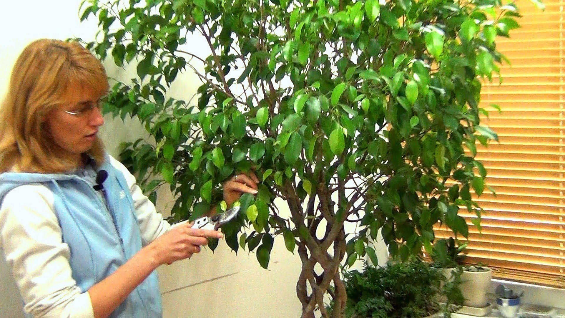 Размножение бегонии листом: пошаговая инструкция размножения и укоренения бегонии в домашних условиях. как вырастить бегонию из листа?