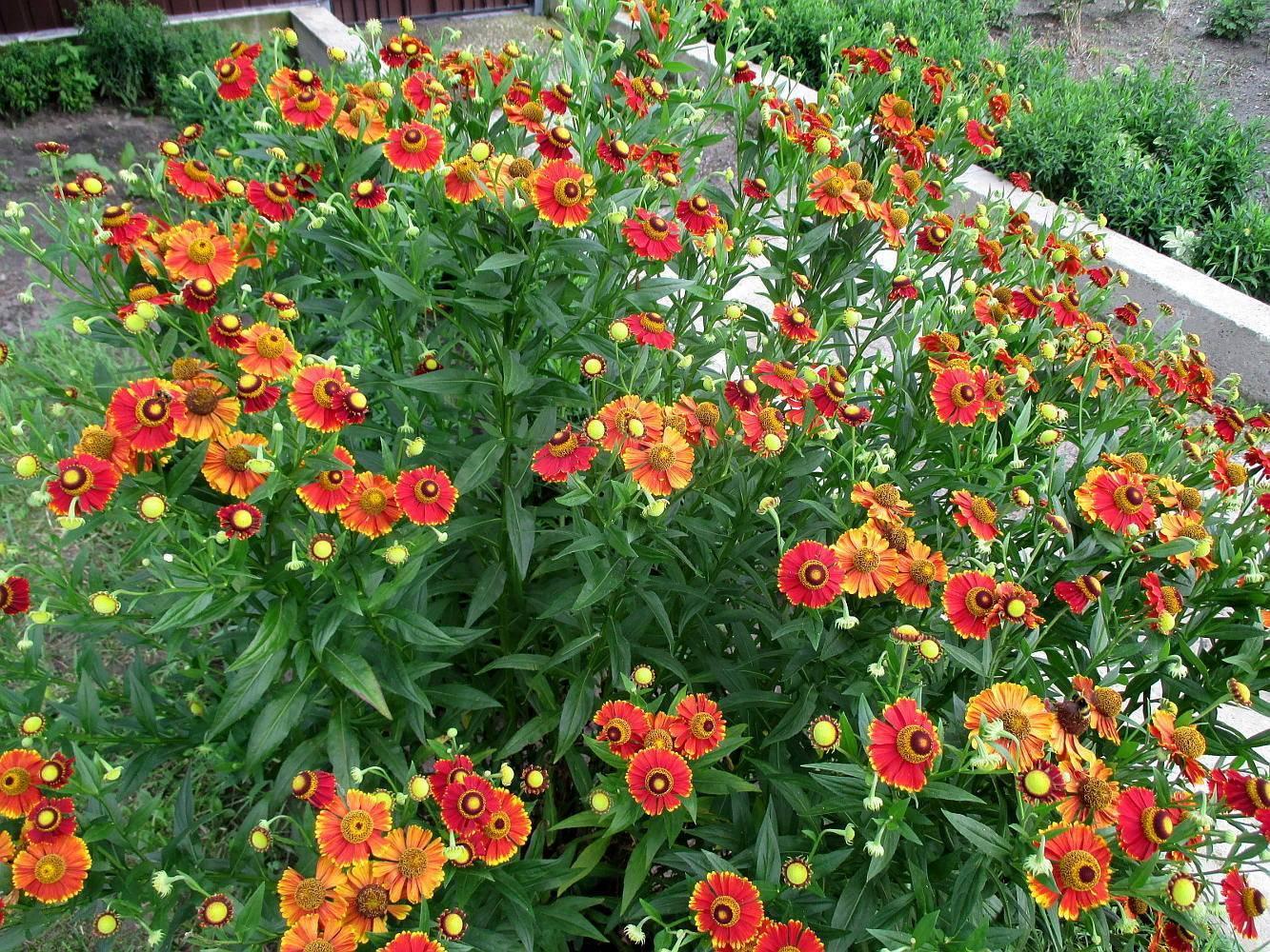 Гелениум: посадка и уход в открытом грунте, описание, когда пересаживать цветок?