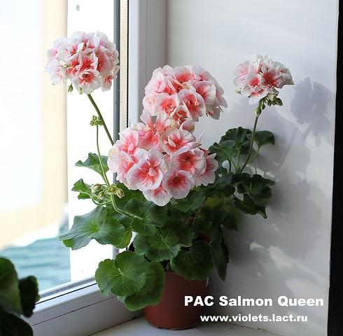Пеларгония pac salmon komtess (пак салмон комтесс)