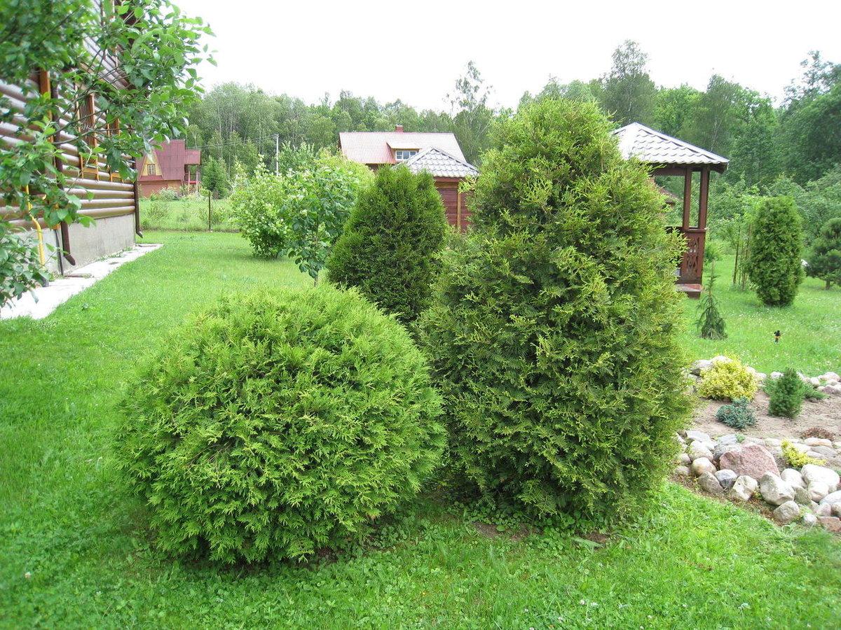 Туя восточная «ауреа нана» (17 фото): описание сорта, посадка и уход, использование в ландшафтном дизайне, размеры дерева
