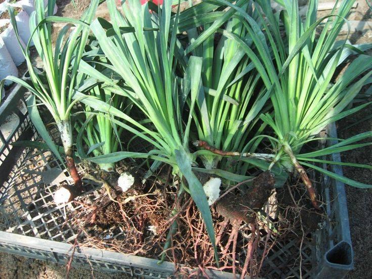 Эремурус: выращивание из семян, фото, посадка и уход в открытом грунте