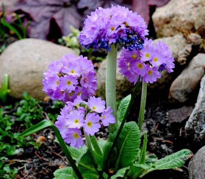 Примула (67 фото): посадка и уход за многолетним садовым цветком, разновидности первоцвет весенний и бесстебельный. как вырастить примулу обыкновенную в открытом грунте?