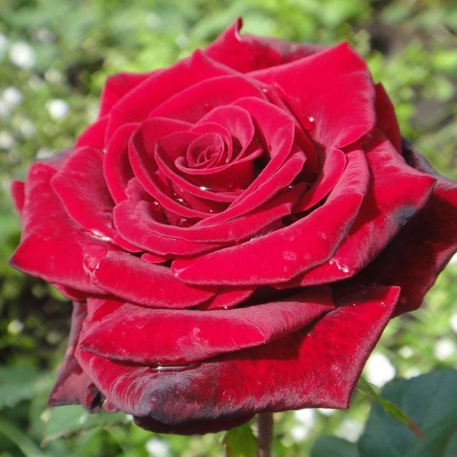 Роза Гранд Гала (Grand Gala) — что это за классический сорт