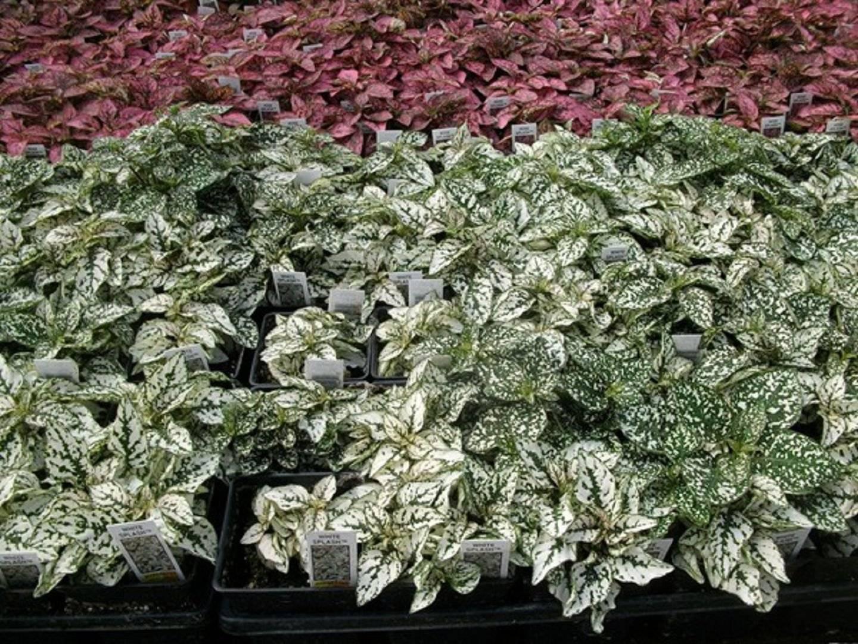 Как ухаживать за гипоэстесом, выращивание из семян в домашних условиях