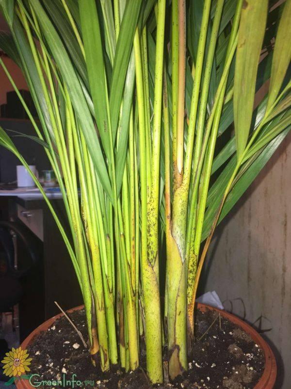 Пальма хризалидокарпус (арека): фото видов цветка, уход в домашних условиях, болезни и вредители