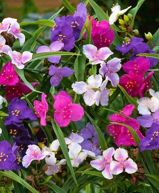 Традесканция садовая (31 фото): многолетние виды и сорта, посадка и уход в открытом грунте. пестролистная стелющаяся традесканция в ландшафтном дизайне