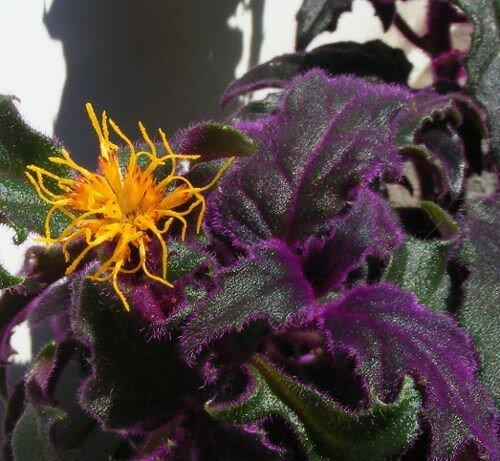 Гинура: уход в домашних условиях, описание и фото цветка