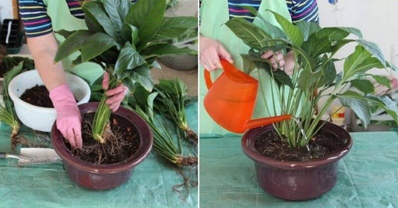 Почему спатифиллум может опустить листья, как решить проблему и что сделать, чтобы она не возвращалась?