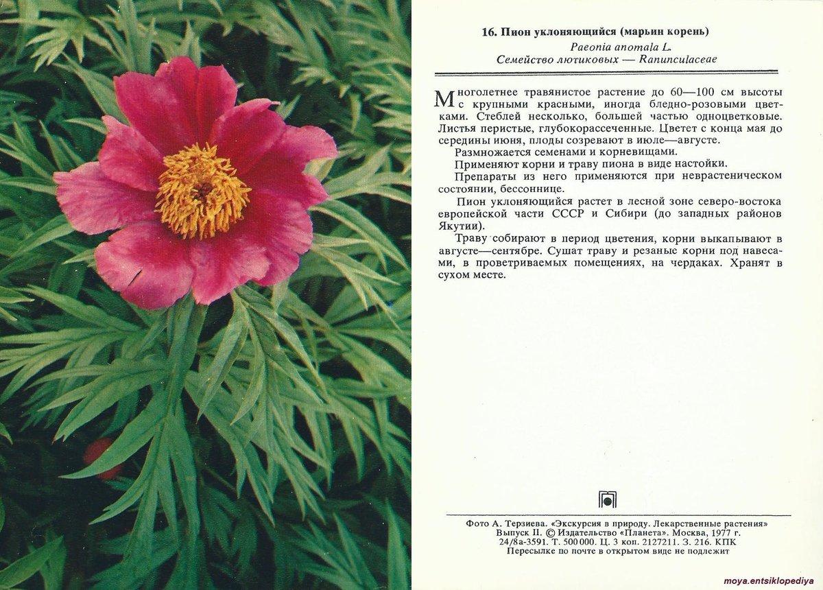 Пион уклоняющийся: описание и выращивание