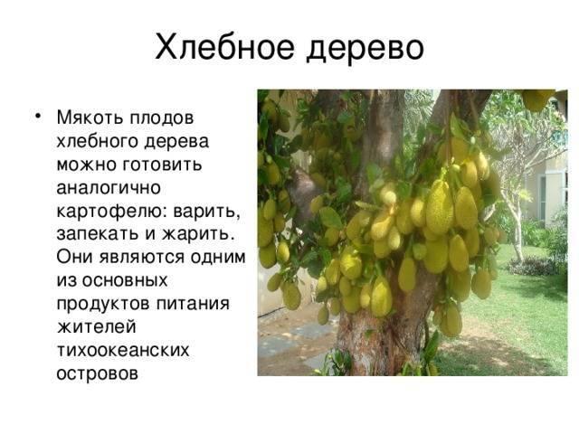 Хлебное дерево: описание растения и условия выращивания