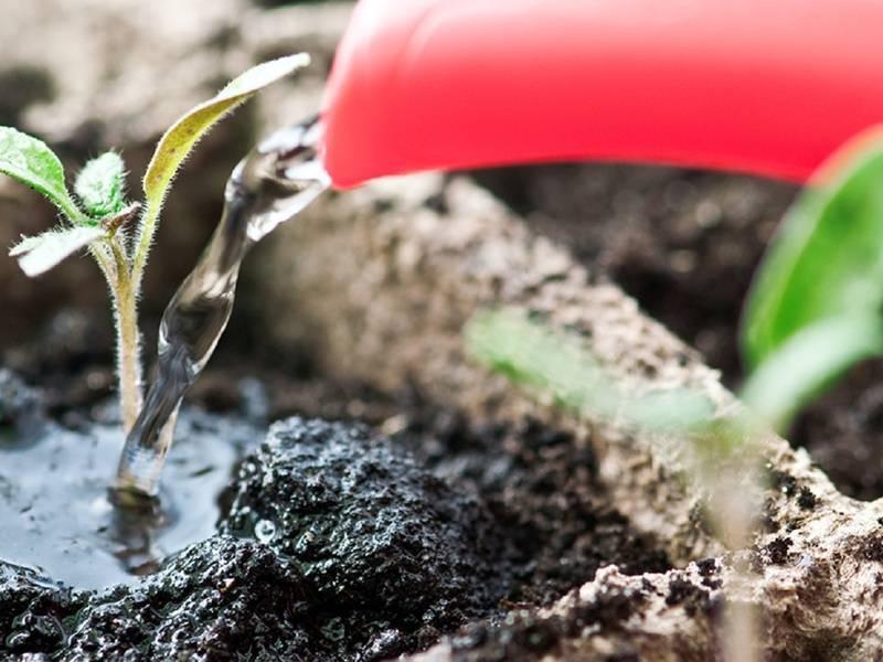Выращивание пентаса из семян