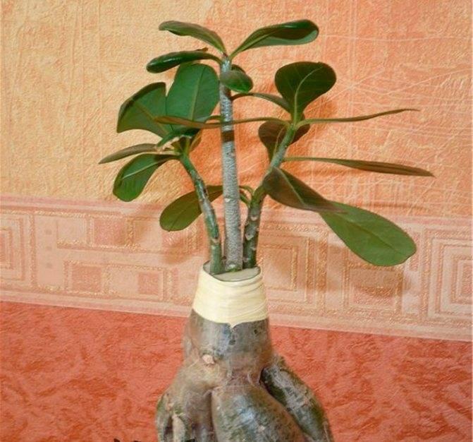 Размножение адениумов черенками: что нужно знать об обрезке нужной ветки, как укоренить дома верхушки растения, какой уход понадобится дальше?
