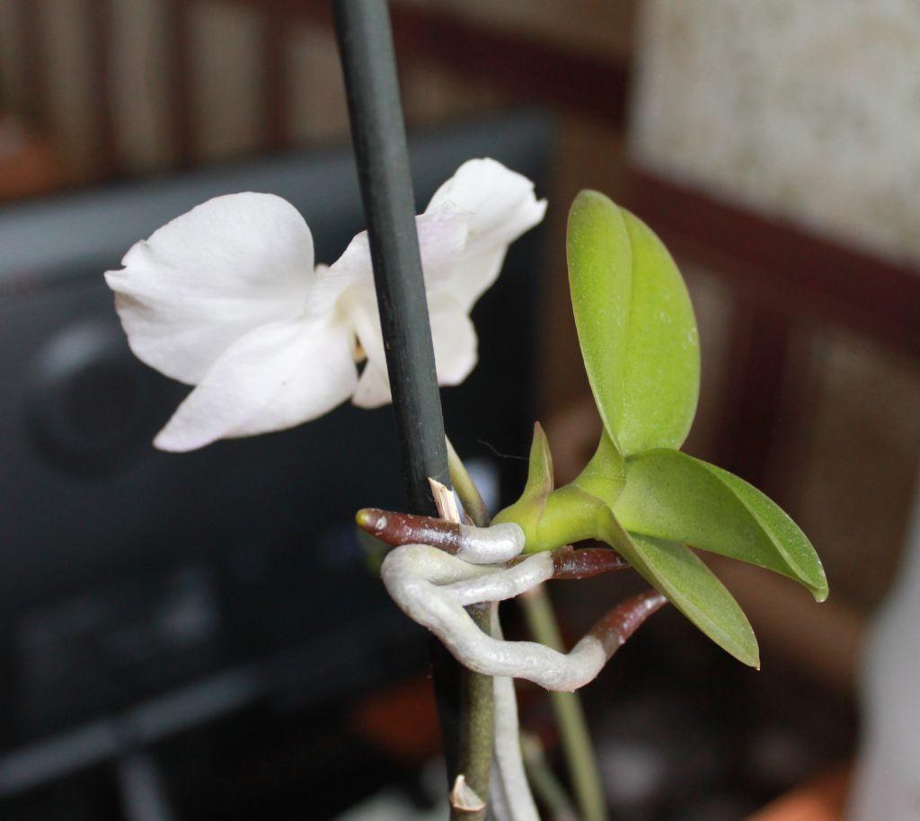Как отделить детку орхидеи от материнского растения правильно, когда и как отсоединить прикорневой отросток, отводок из пазухи листа, от ствола и у основания?