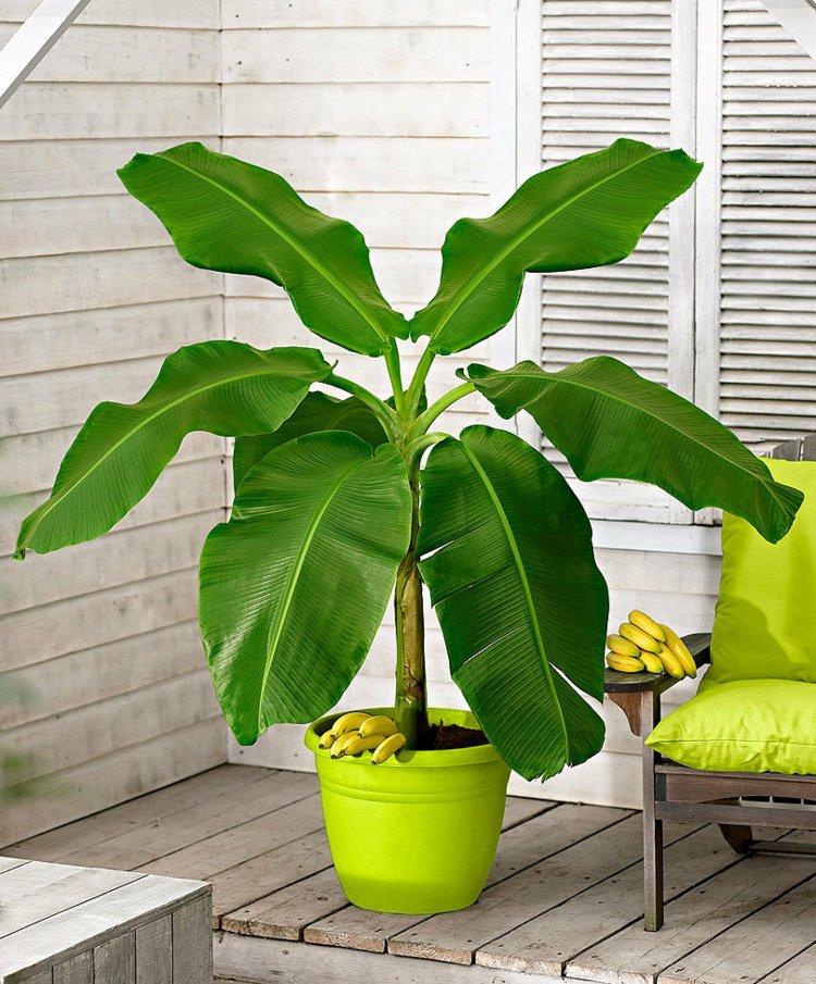 банановое дерево комнатное фото стройных дам