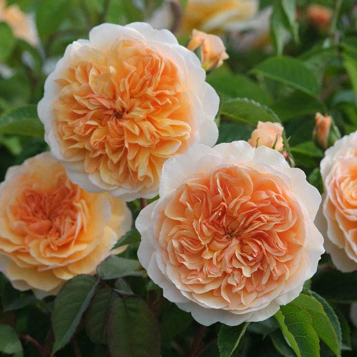 Роза Джульетта (Juliet)