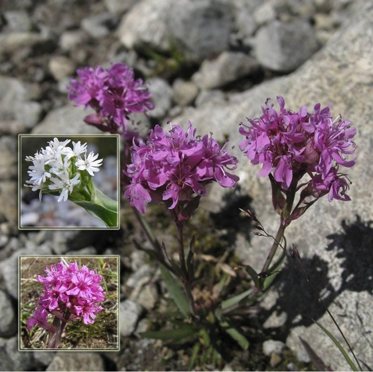 Лихнис: выращивание из семян и возможные трудности, посадка и уход в открытом грунте, виды и сорта с фото