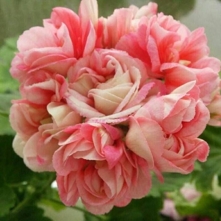 Пеларгония ингрид — характеристики и выращивание