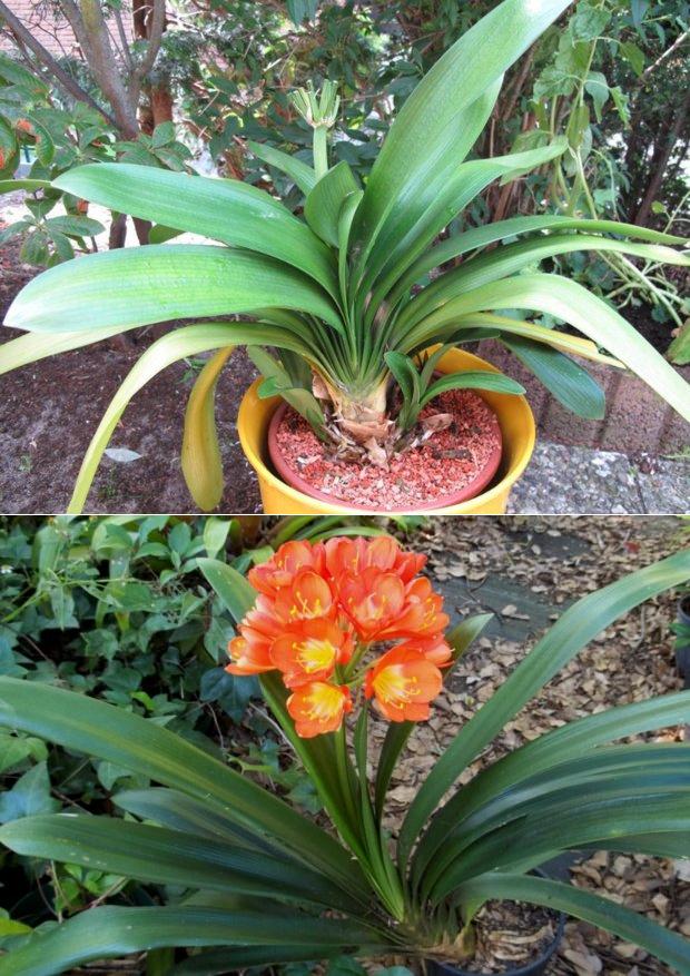 Домашний цветок кливия: фото разновидностей, как ухаживать в домашних условиях, размножение растения
