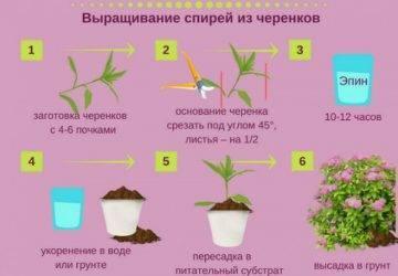 Размножение спиреи черенками: черенкование спиреи летом. как размножить весной и осенью? укоренение черенков
